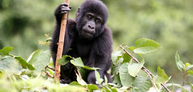 Gorilla & Volcano Trek