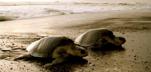 Turtles and Tortuguero