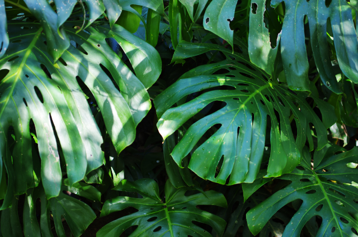 find shade in the deep greens of giant monstera leaves