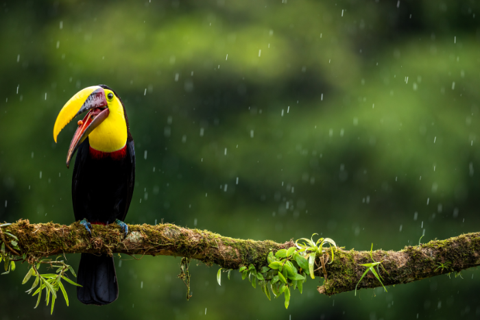 marvel at the sunny yellows of a black-mandibled toucan