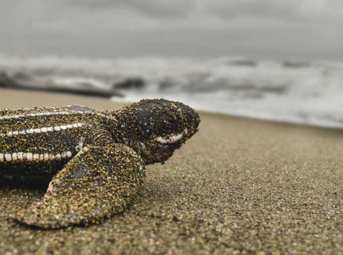 take in the green goodness of leatherback sea turtle hatchlings