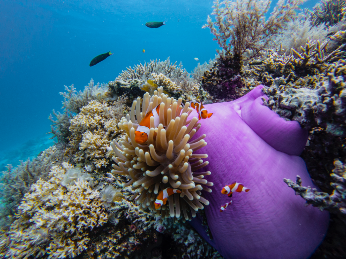 clownfish keep their friends close and their anemones closer