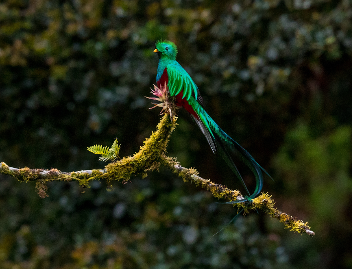 a male Resplendent Quetzal sitting pretty as a picture