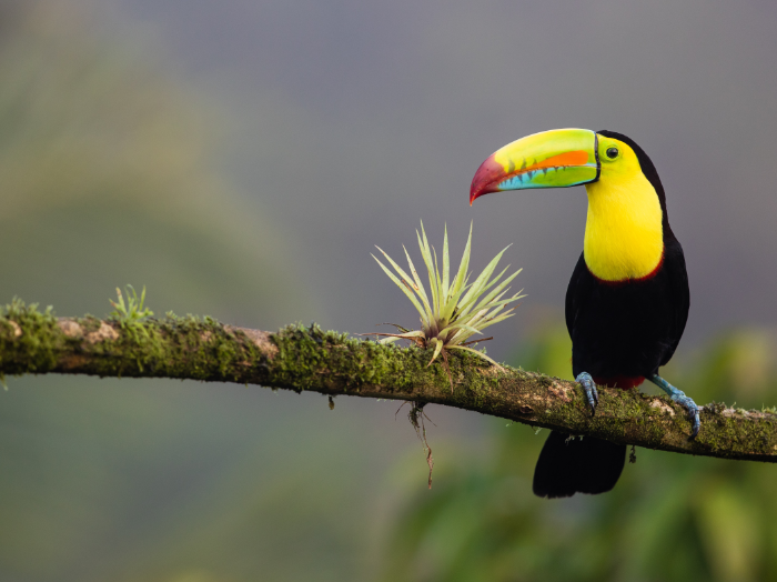 no ordinary Sam — behold the beautiful keel-billed toucan