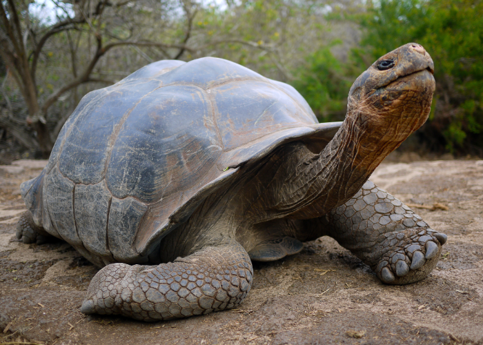 the Galápagos Islands are home to green sea turtles and giant tortoises