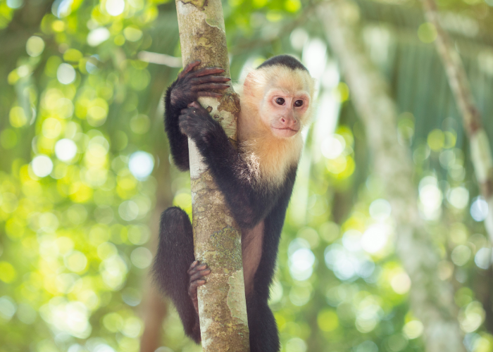 have fun monkeying around with white-faced capuchins