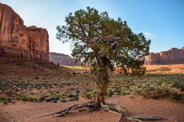 A tree grows in Monument Valley. Pic courtesy of Sara F.