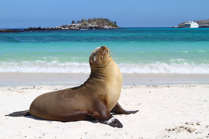 all sea lions have external ear flaps and can walk on all four flippers