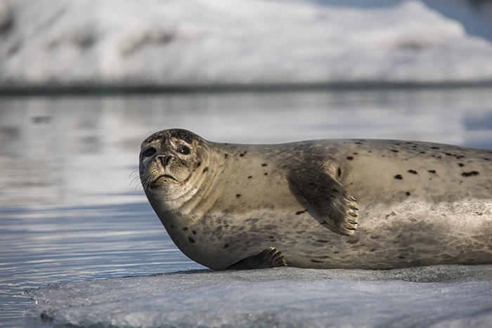 harbour seals like their personal space from humans and each other