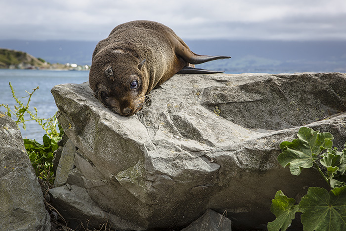 this looks to be a New Zealand sea lion pup but it can often be hard to tell
