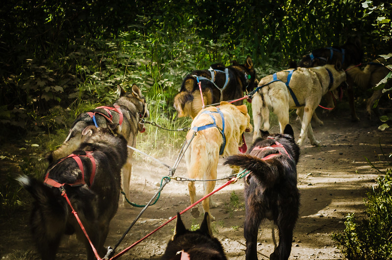 Exercising Iditarod Sled Dogs in the Summer.