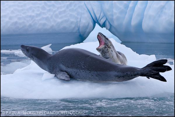 Leopard Seals in Antarctica with G Adventures