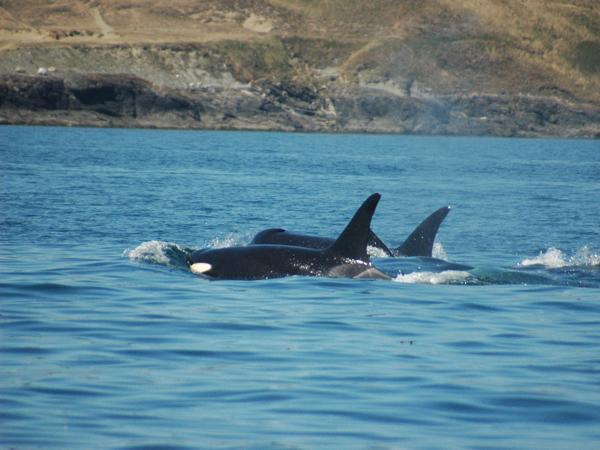 Orcas off the port bow. Photo courtesy Bryan Estabrooks.
