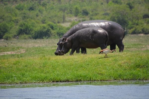 The animals of Botswana's Chobe River - G Adventures  Hippopotamus
