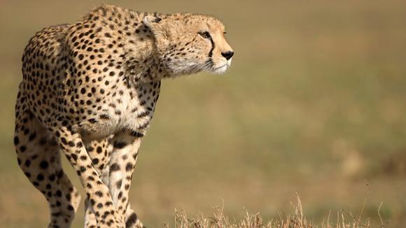 Kenya-Masai-Mara-Cheetah-580