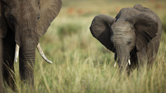 Kenya-Masai-Mara-Elephant-580