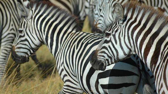 Kenya-Safari-Zebra-580