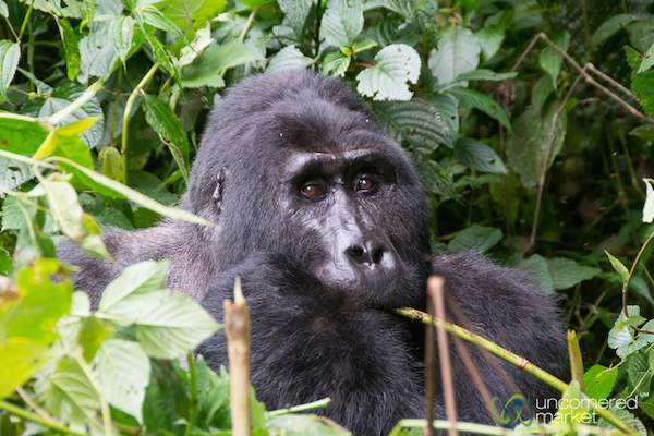 Up close and personal with a male silverback mountain gorilla.