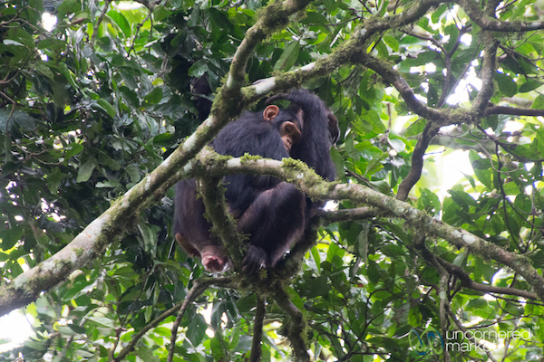 Mother and baby chimpanzee together high up in the tree branches.