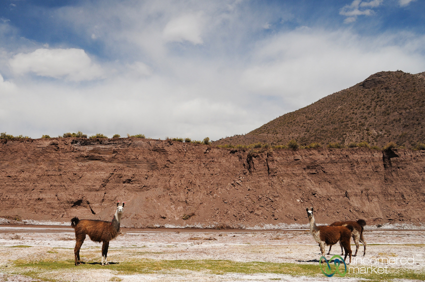Llamas!! They're among the only animals able to survive such high altitudes.