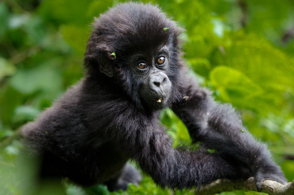 A baby gorilla from Rwanda's Volcanoes National Park. Photo courtesy Gorilla Saver.