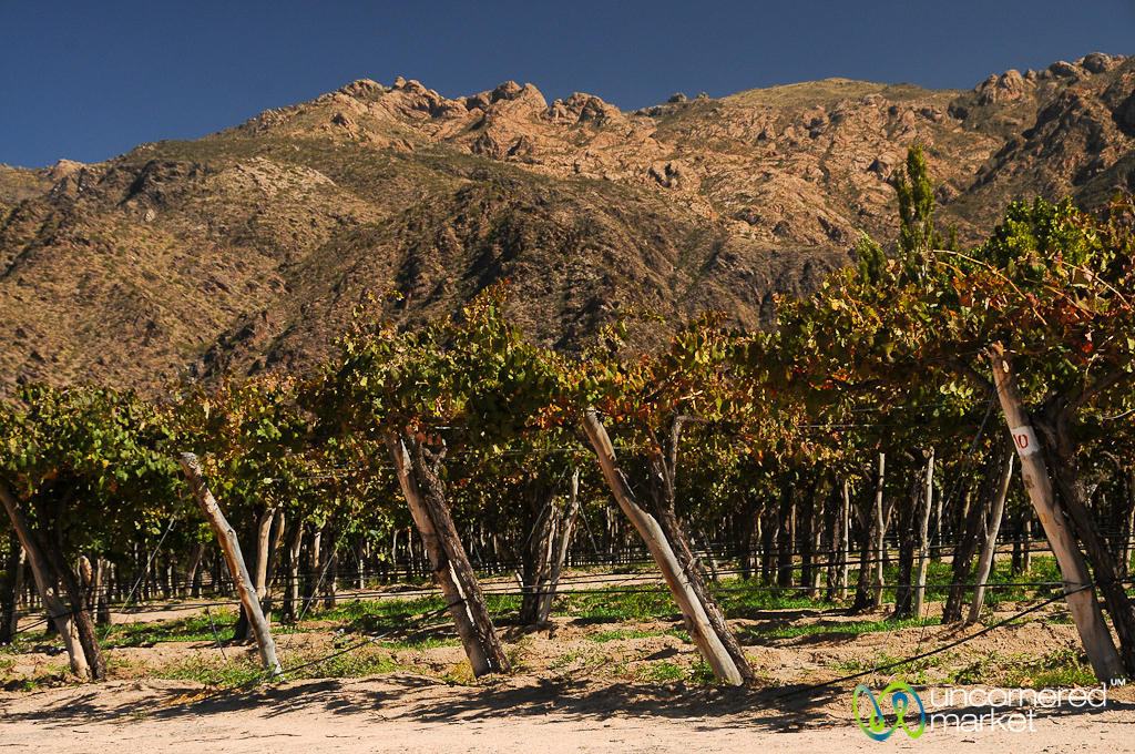 Vineyards in the red rocks of Cafayate.