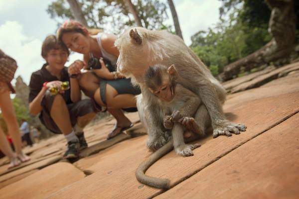 Monkeying around at Angkor Wat, Cambodia.