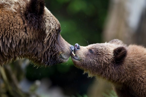 Grizzly sow nuzzles her cub.