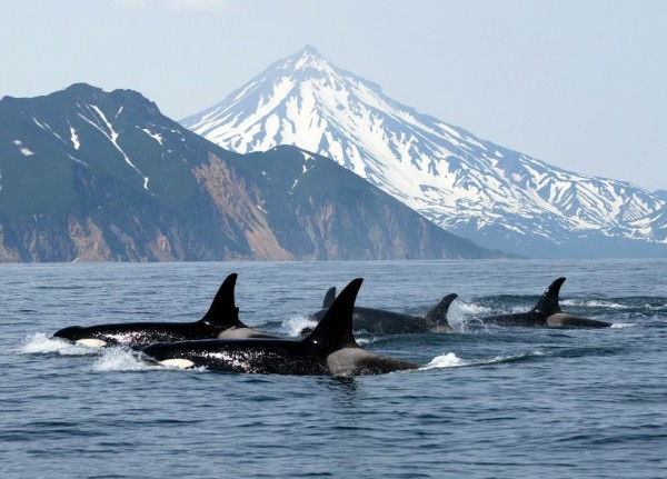 A pod of orcas off the coast of BC.