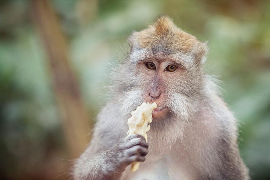 Contemplative monkey.