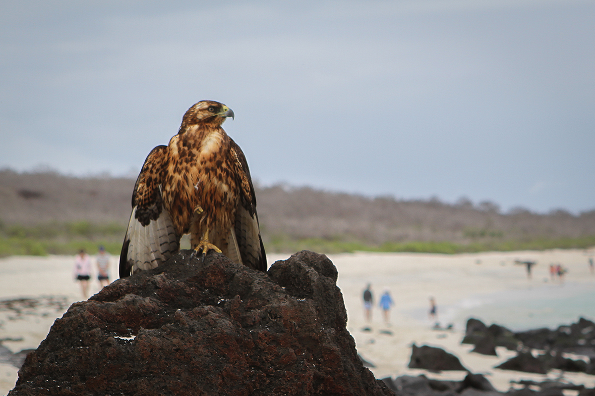 A Galapagos hawk perched above the beach on a bluff—a fearsome predator and scavenger with no natural enemies.