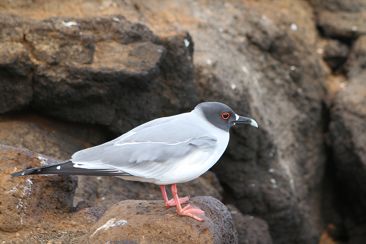 Happening upon an inquisitive swallow-tailed gull.