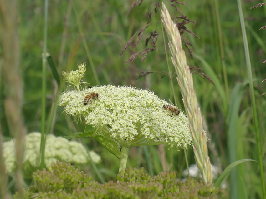 Bees seek out the nectar on offer from this bloom of Queen Anne's Lace.