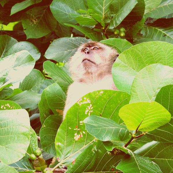 One of the many monkeys watches from a tree. #guardmonkey