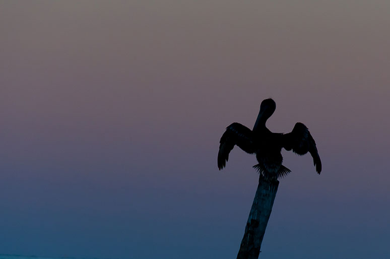 It is a small island but there is still wildlife to be found. This pelican was resting on a post during sunset.