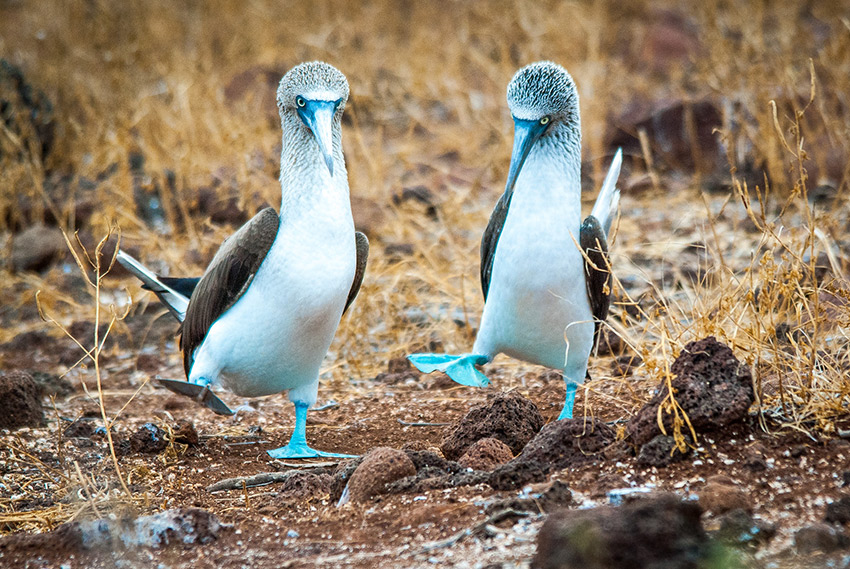 A pair of adorably awkward Blue-footed boobies do a mating dance.