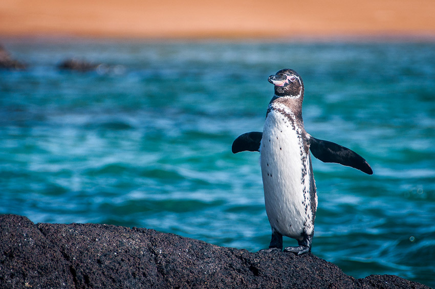A proud penguin waddling along the shore.