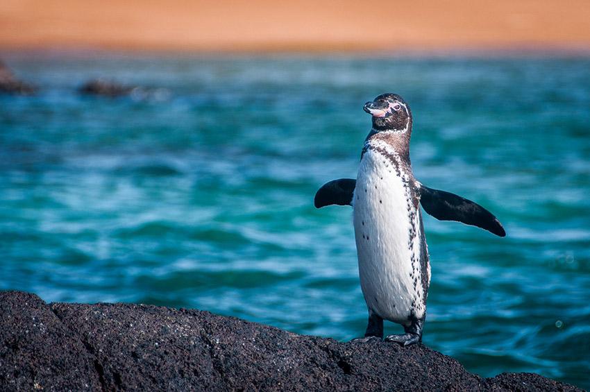 A proud penguin waddling along the shore.