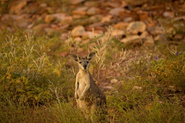 Early morning and late in the day are the best times to spot wallabies, kangaroos and wallaroos in the bush.