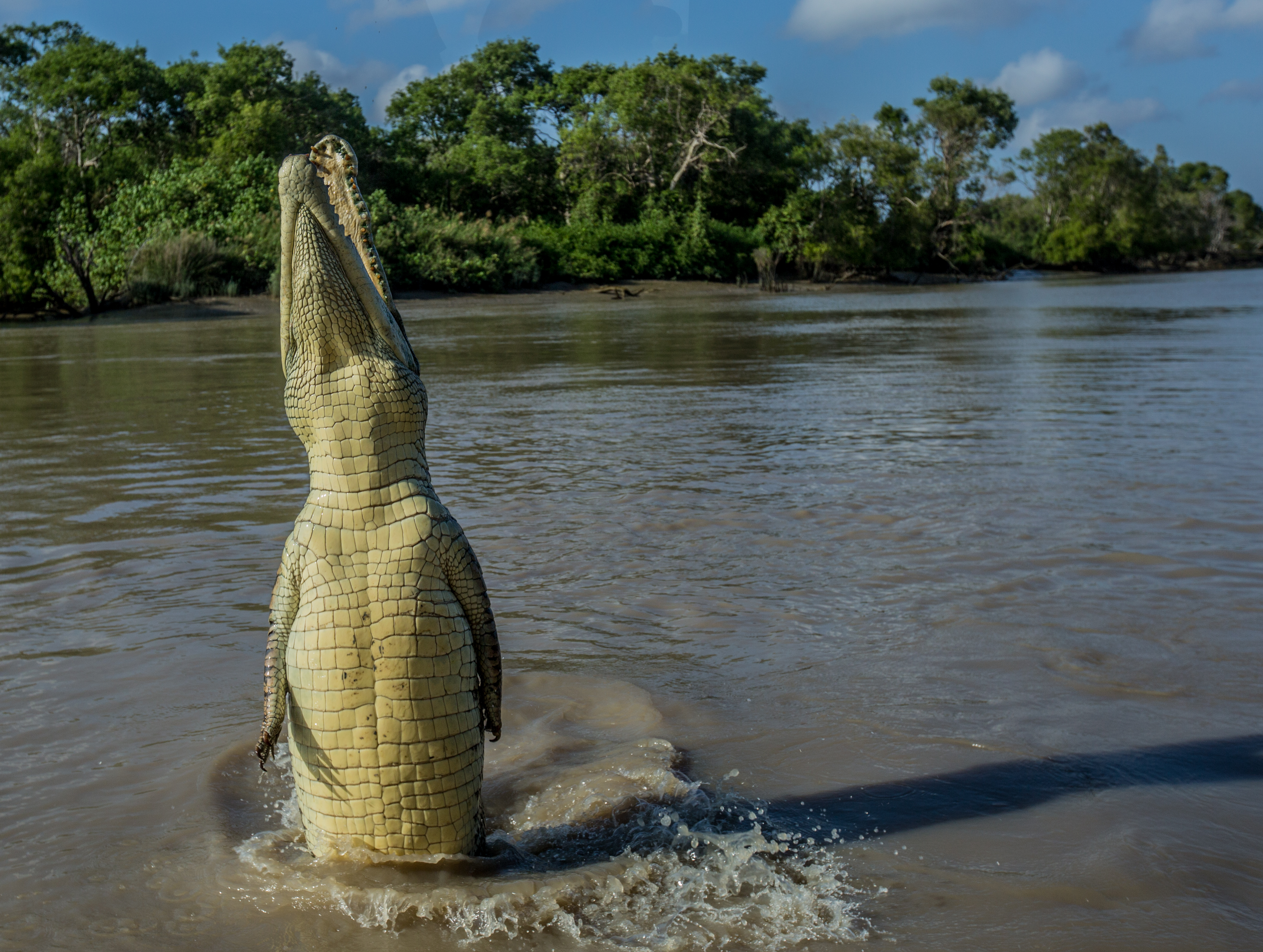 a crocodile jumps out of the water