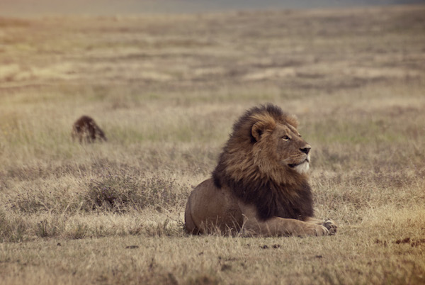 A lion sits in the Ngorongoro Crater in Tanzania.