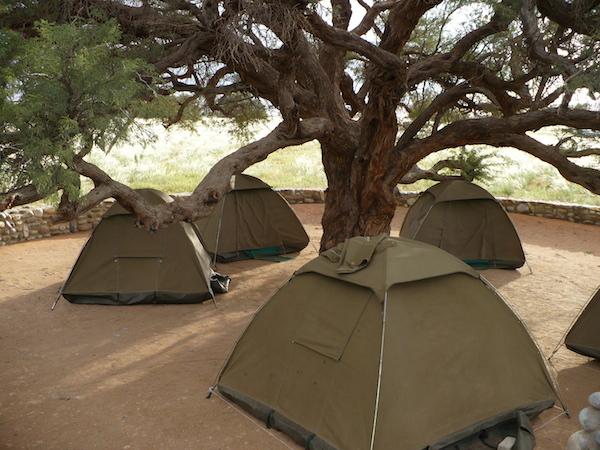 tents under an acacia tree