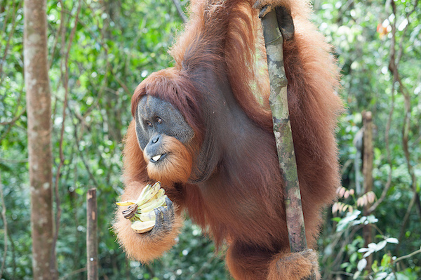 An orangutan snacks on a banana in Gunung Leuser National Park. Photo by K Leempoel.