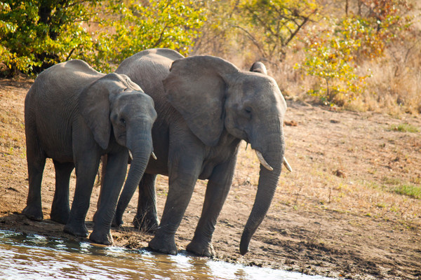 A family of elephants takes a drink from a watering hole in Kruger National Park.