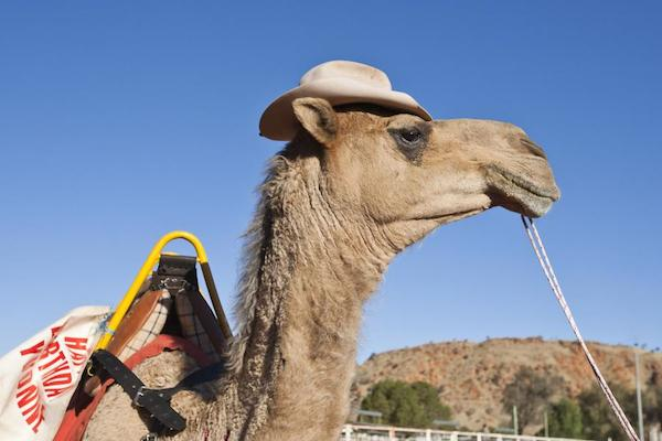 The Camel Cup Hy Hump Day G Adventures