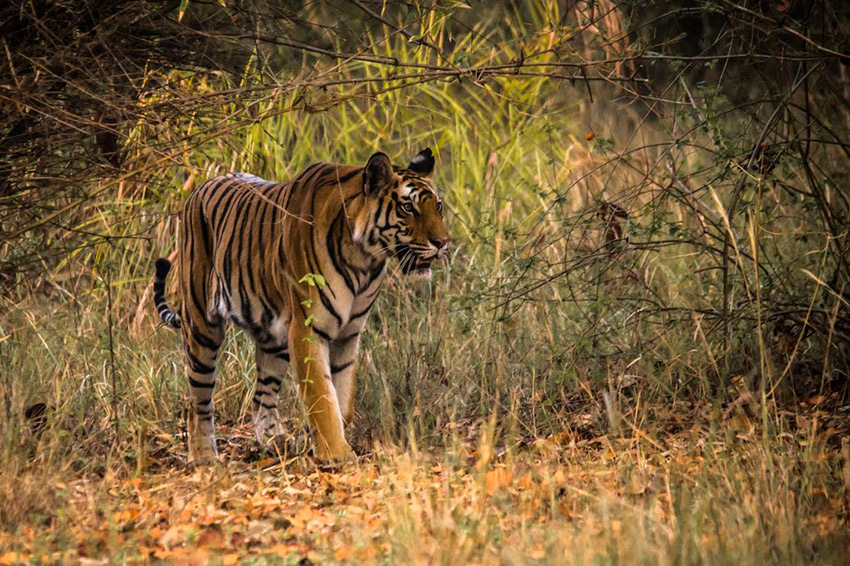 Tiger spotting in Bandhavgarh National Park. Photo courtesy Mandala T.