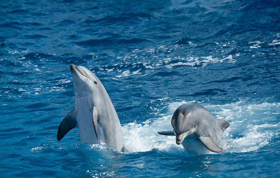 Two dolphins play in the Mediterranean surf.