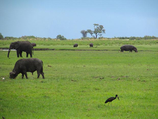 Animals feeding in Chobe