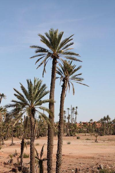 Palm tree grove near Marrakech.