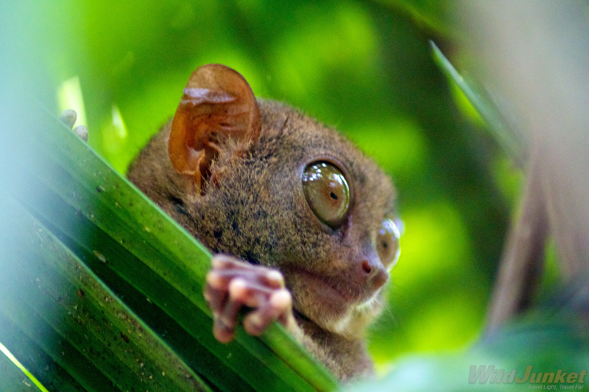 animal instincts protecting the philippine tarsier g adventures the philippine tarsier is one of the world s smallest primates